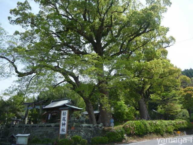 松尾神社の楠